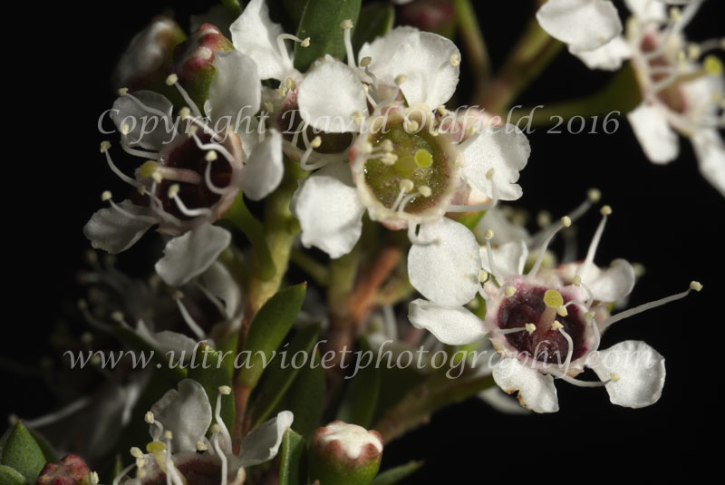 Attached Image: Kunzea_ericoides_Vis.jpg
