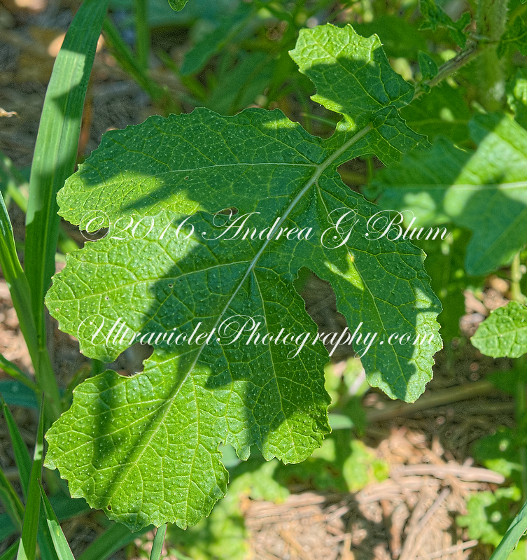 Attached Image: brassicaJuncea_20160803shoreCottageSwhME_11646pn.jpg