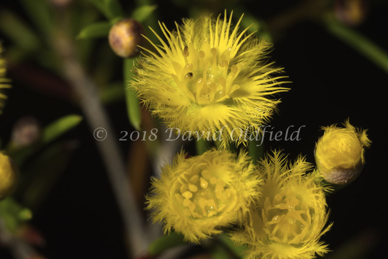 Attached Image: Verticorda_chrysantha_Vis.jpg