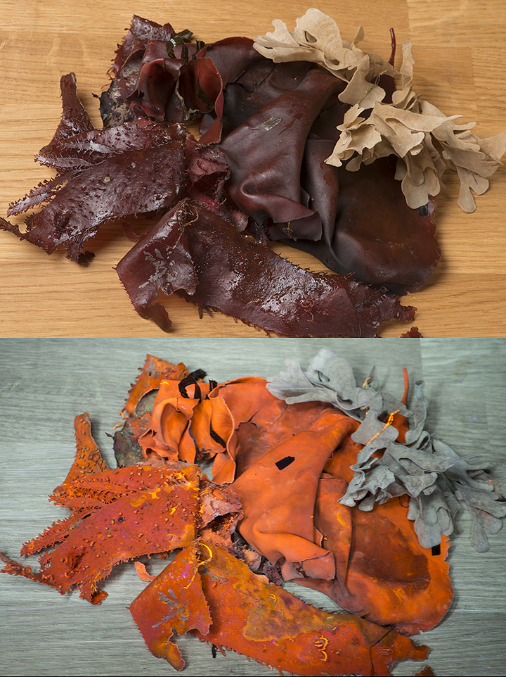 Attached Image: red seaweed UVF lo res.jpg