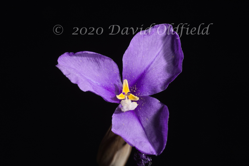 Attached Image: Patersonia_occidentalis_Vis.jpg