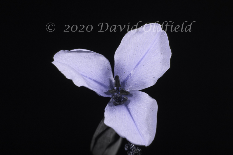 Attached Image: Patersonia_occidentalis_UV.jpg