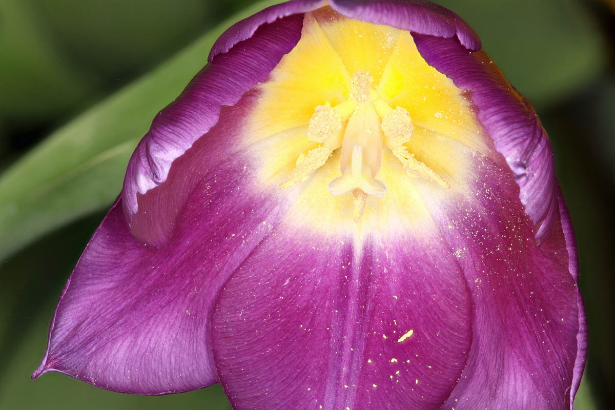 Attached Image: Tulip 3 R.jpg