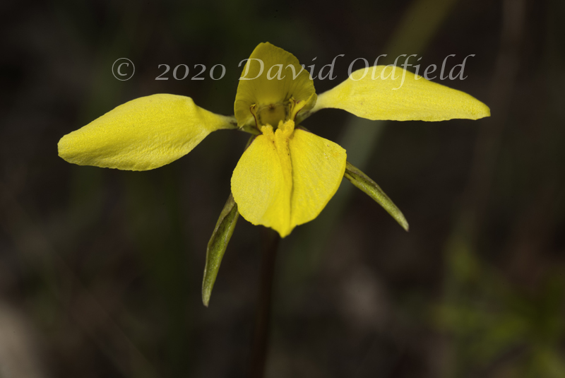 Attached Image: Diuris_chryseopsis_Vis.jpg