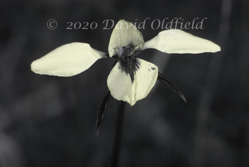 Attached Image: Diuris_chryseopsis_UV.jpg