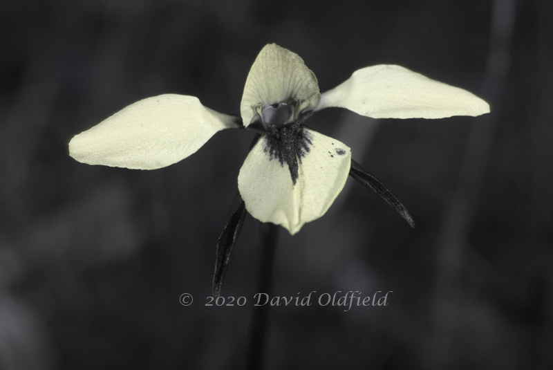 Attached Image: Diuris_chryseopsis_UV_2.jpg