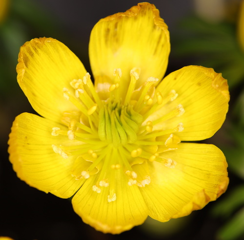 Attached Image: 011 Vis Winter Aconite Eranthis Cilicica .jpg
