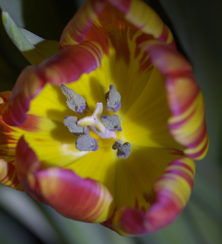Attached Image: 023 Vis Tulip.jpg