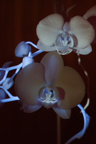 Attached Image: 007 VIIRF Orchid Pair - Green 520nm.jpg