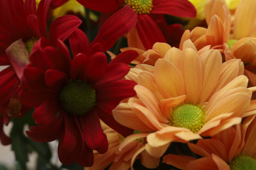 Attached Image: 020 Vis Chrysanthemum.jpg