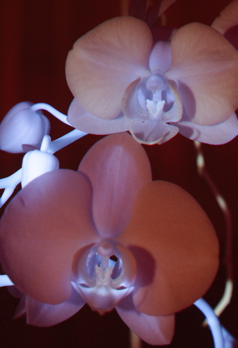 Attached Image: 007 VIIRF Orchid Pair - Red 635nm.jpg