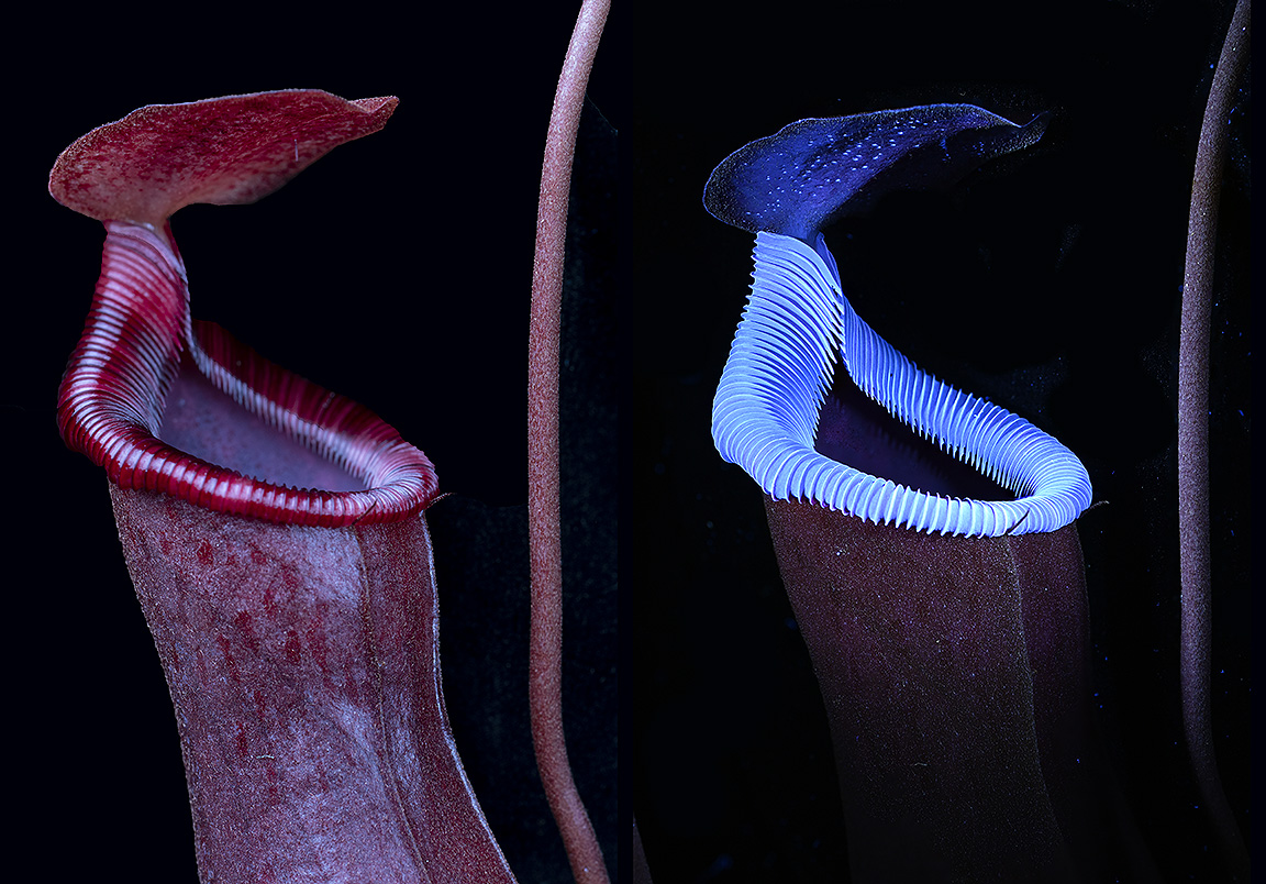 Attached Image: nepenthes com lo res.jpg