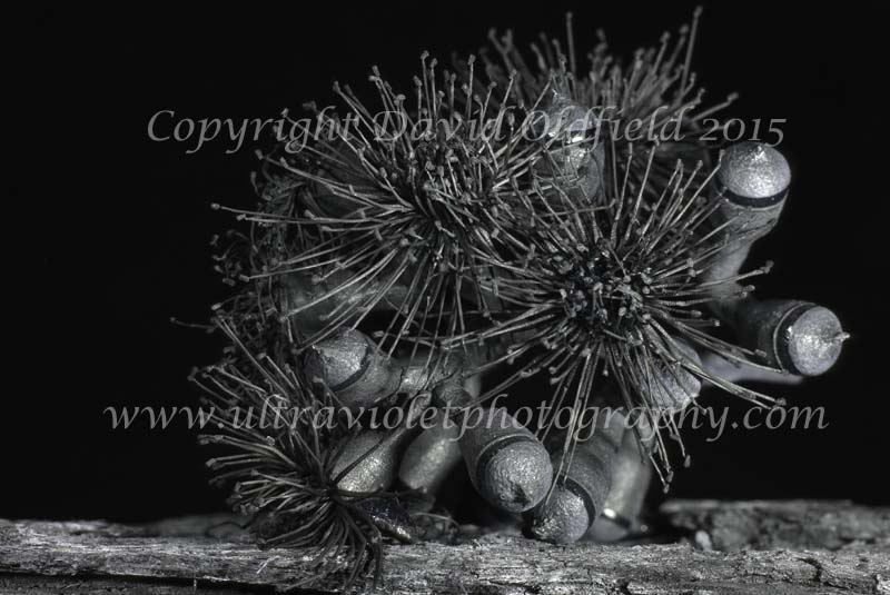 Attached Image: Corymbia_maculata_UV.jpg
