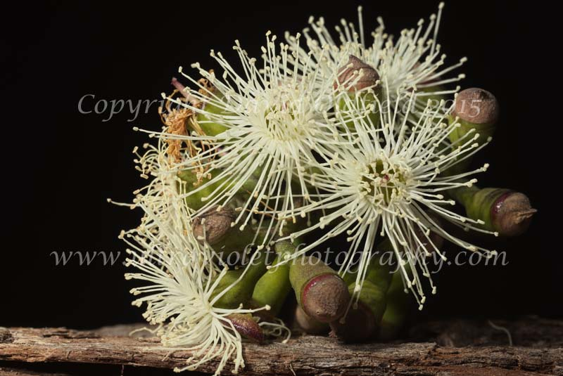 Attached Image: Corymbia_maculata_Vis.jpg
