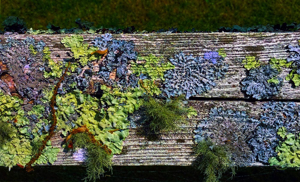 Attached Image: lichen vis-UV overlay multiply saturate.jpg