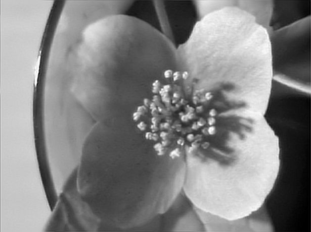Attached Image: white flower 2 focal stack denoise UVP.jpg