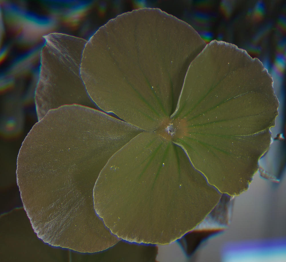 Attached Image: UVFC 326 Pansy New  Method.jpg