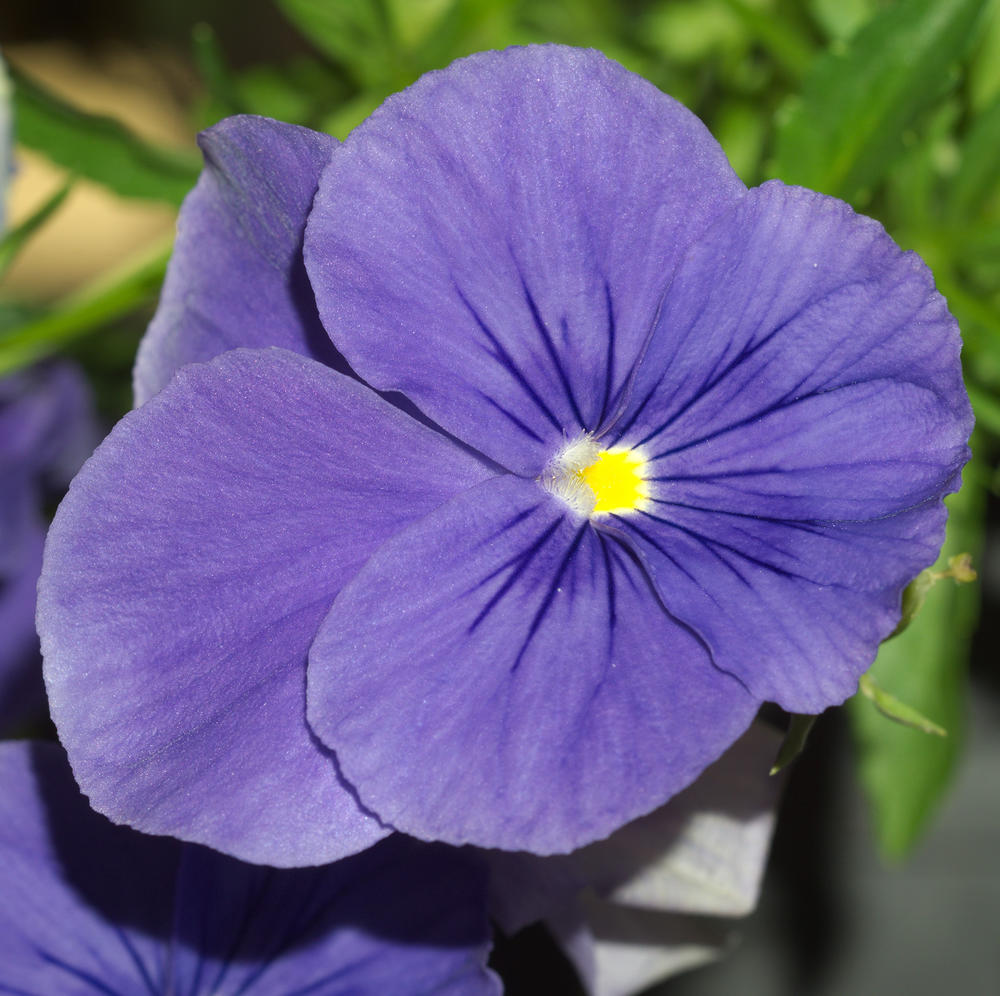 Attached Image: UVFC 326 Pansy Vis.jpg