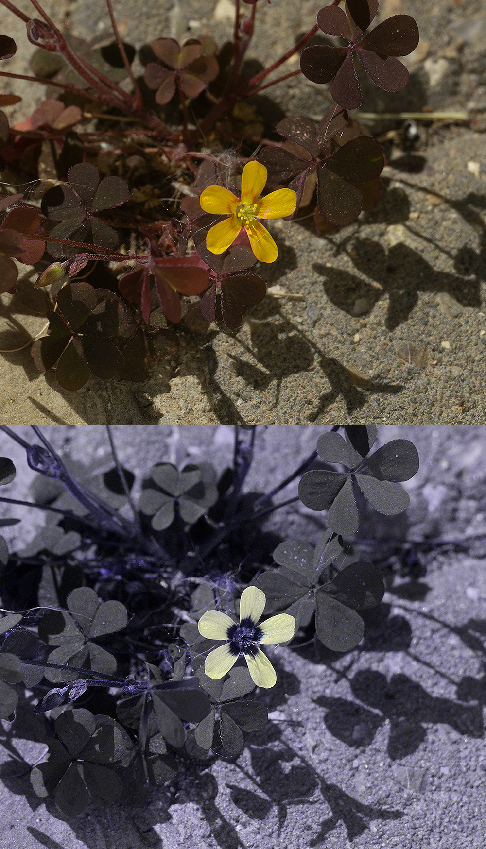 Attached Image: Oxalis comp lo res.jpg