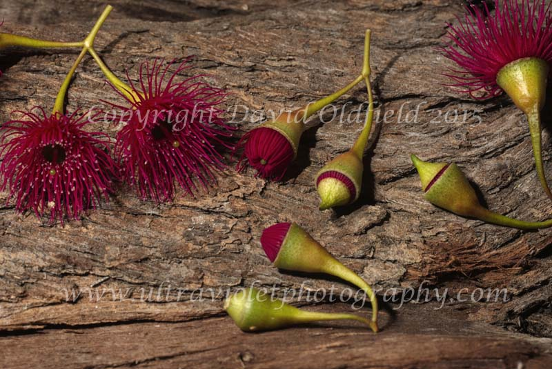 Attached Image: Eucalyptus_leucoxylon_red_buds_Vis.jpg