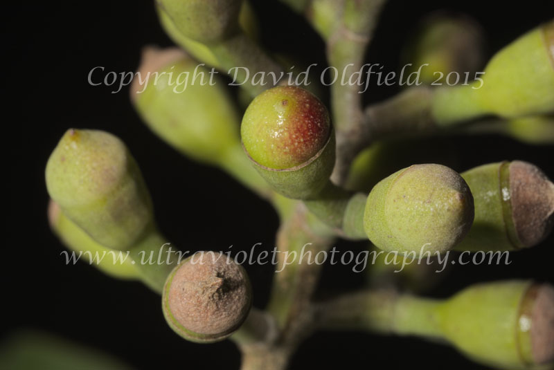 Attached Image: Corymbia_maculata_buds_Vis.jpg