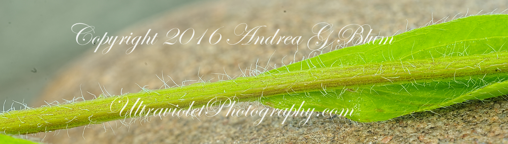 Attached Image: erigeronAnnuusStem_visFlash_20140711_shoreCottageSwhME_21384pn.jpg