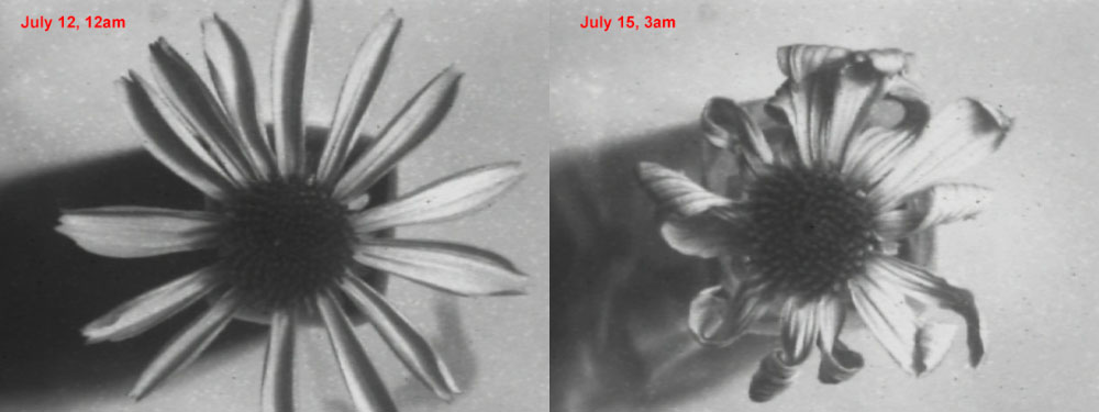 Attached Image: coneflower comparison, SOC.jpg