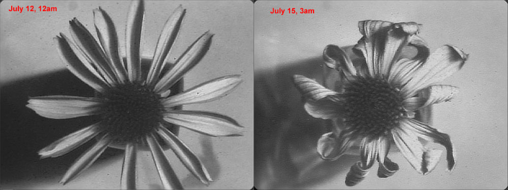 Attached Image: coneflower comparison, depatterned+sharp.jpg