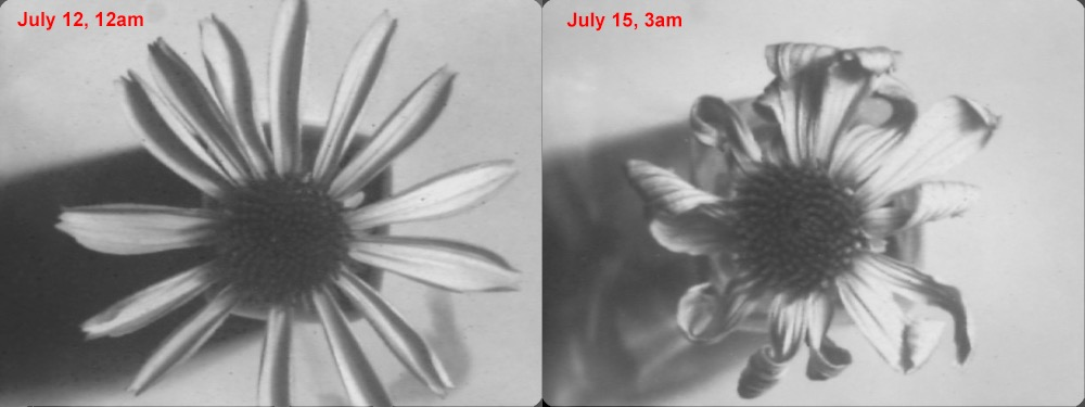 Attached Image: coneflower comparison, depatterned.jpg