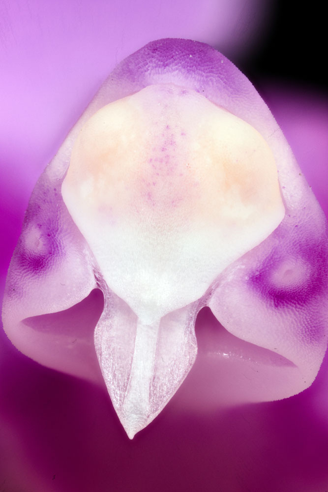 Attached Image: Orchid Ghost Head R.jpg