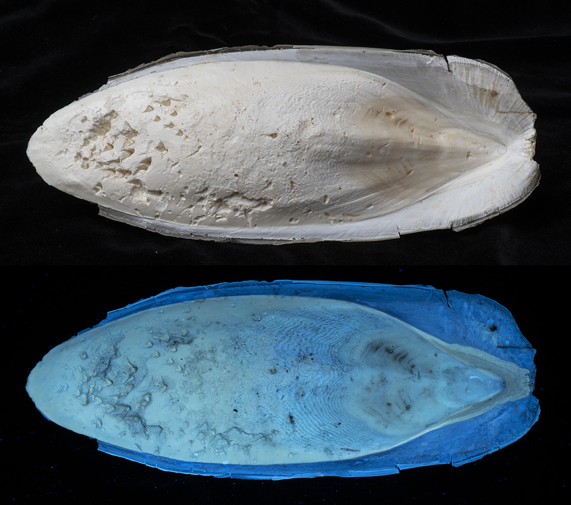 Attached Image: Cuttle Fish 12.jpg