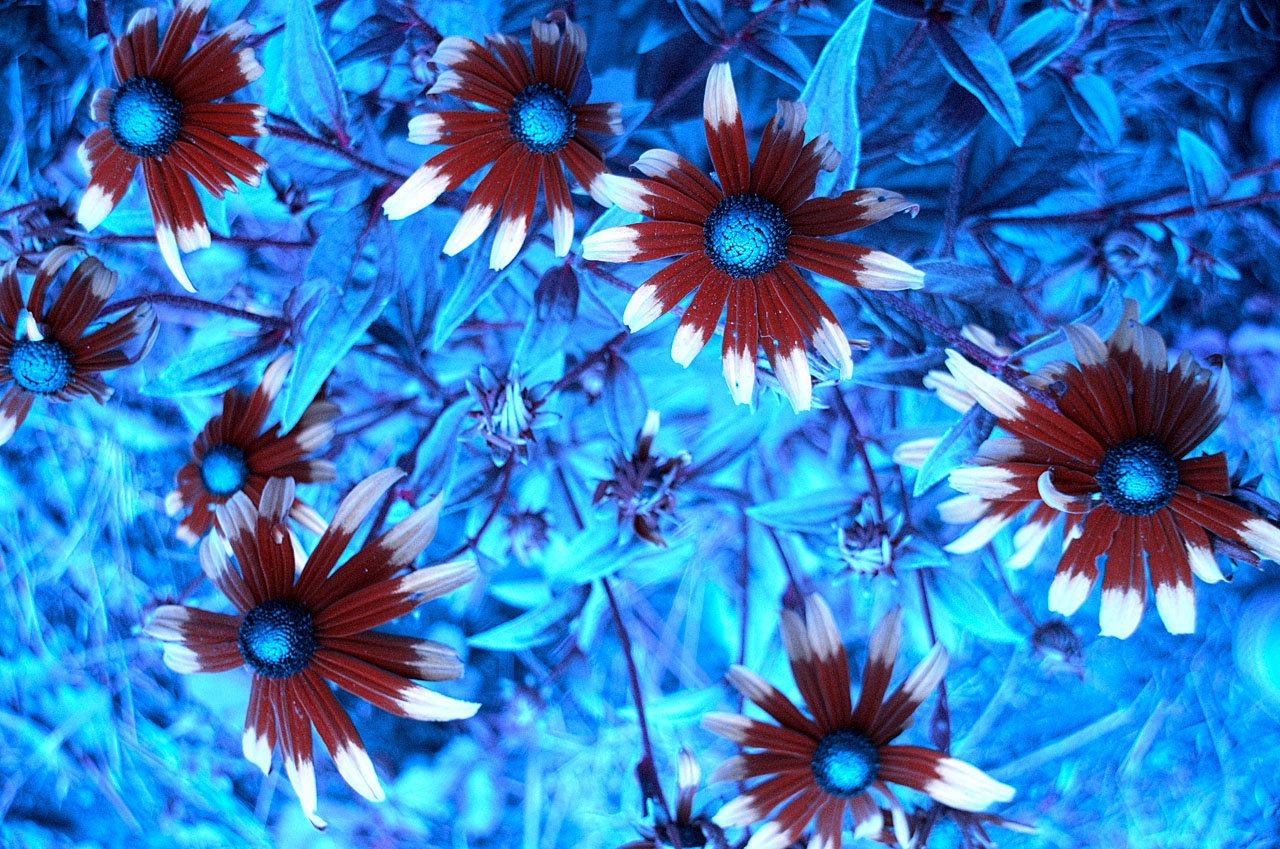 Attached Image: Rudbeckias_UV_Film_Sim_BUG_5_1280.jpg