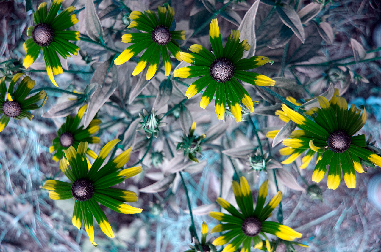 Attached Image: Rudbeckias_UG5_1p5_x_S8612_2mm_Stack_1280.jpg
