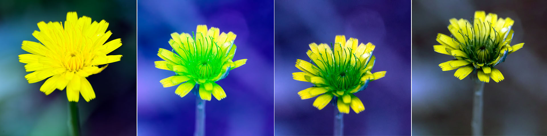 Attached Image: Small_Yellow_Flower_Visual_BG38_UG5_1mm_1p5mm_2mm_stacks.jpg