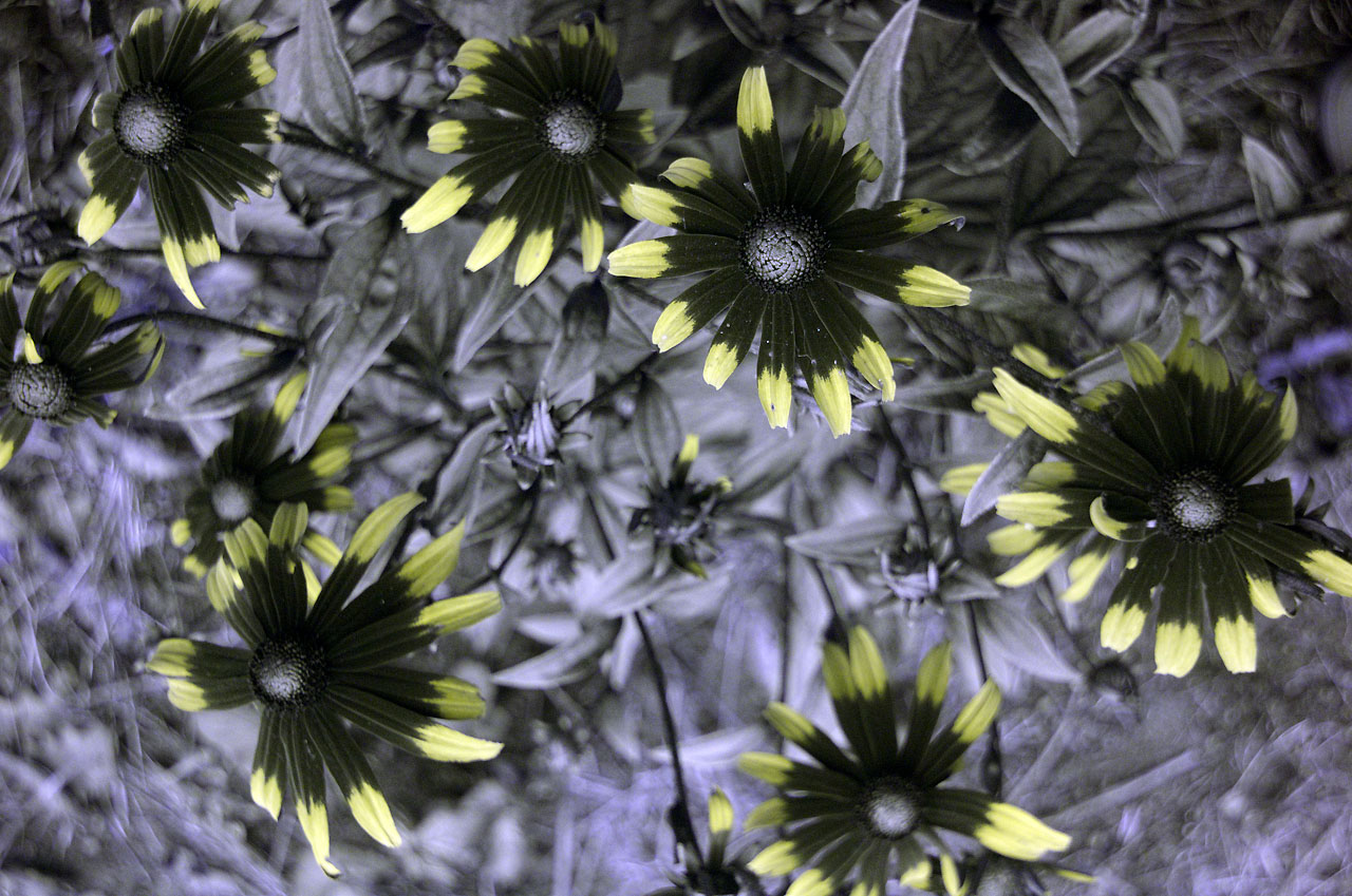 Attached Image: Rudbeckias_UV_Hoya_U360_2mm_x_Schott_S8612_2mm_1280.jpg