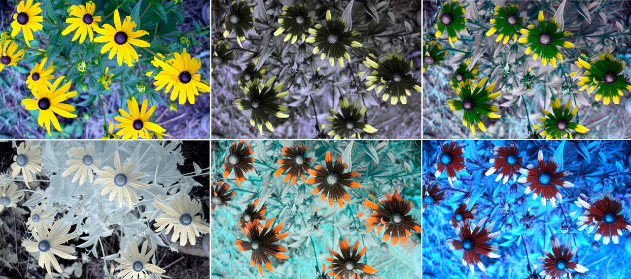 Attached Image: Rudbeckias_All_Stack_6_Shots_1280.jpg