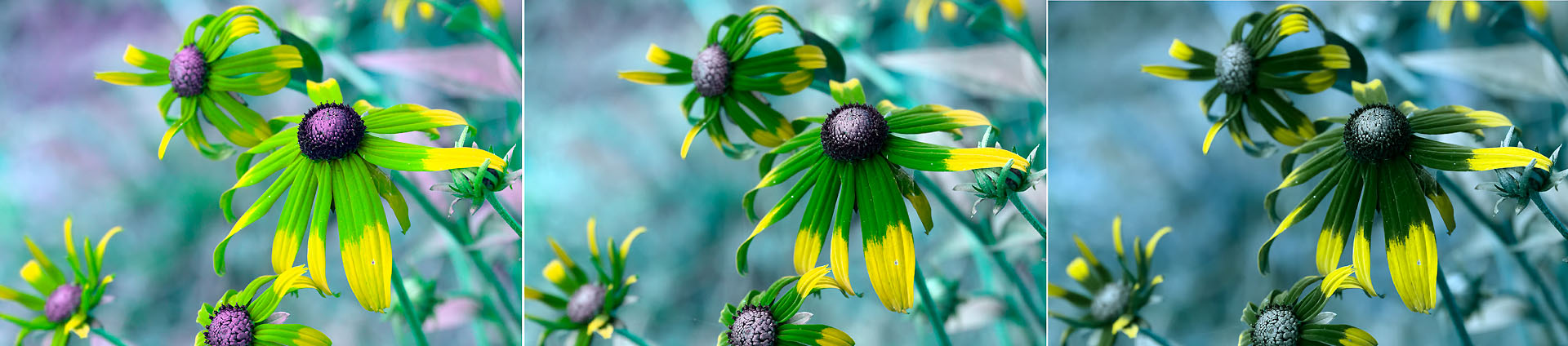Attached Image: Rudbeckia_UG5_1mm_1p5mm_2mm_stacks.jpg