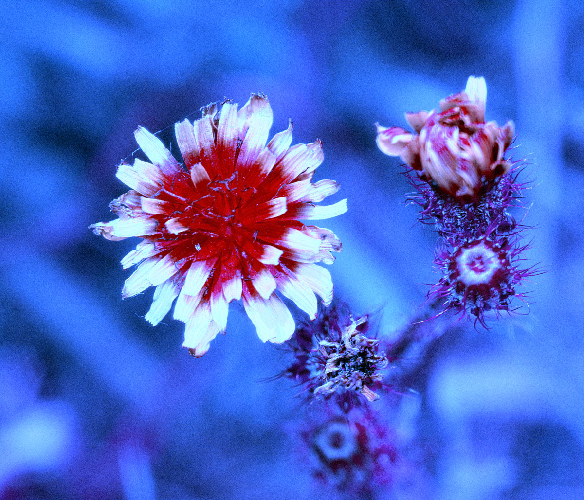 Attached Image: Flower_unknown_BUG_1_Channel_Mix_1200.jpg