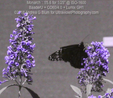 Attached Image: monarch_uvBaader_sun_co60_20180814wf_130746.jpg