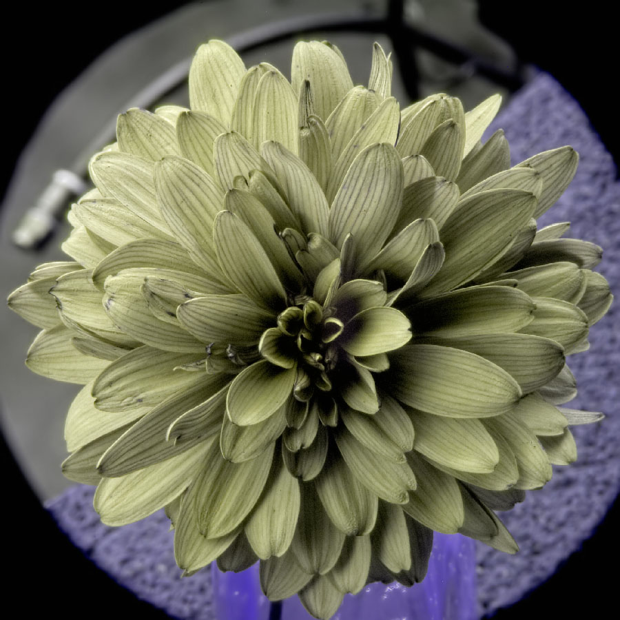 Attached Image: Chrysanthemum UV UVP.jpg