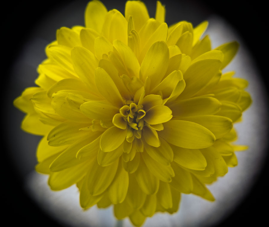 Attached Image: Chrysanthemum vis UVP.jpg