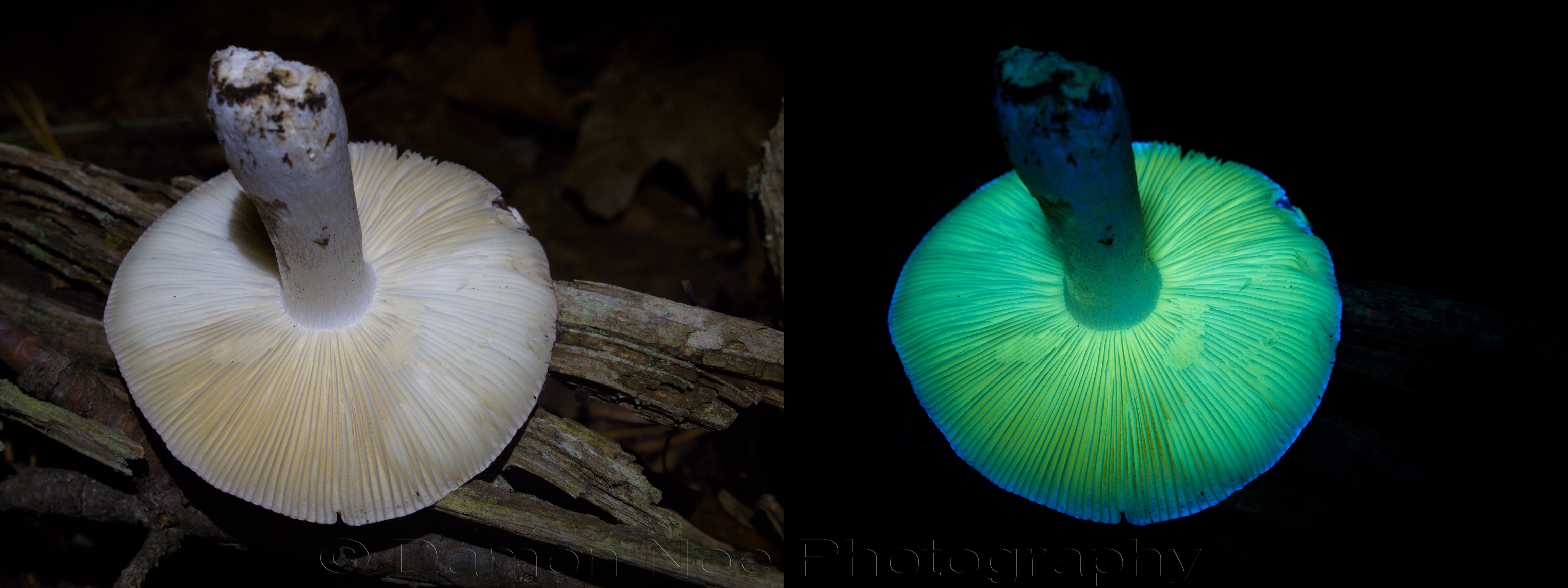 Attached Image: Russula emetica_Diptych_DNoe_resize.jpg