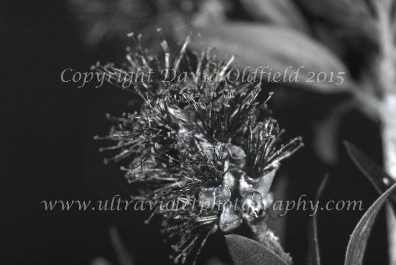 Attached Image: Melaleuca_bracteata_UV.jpg