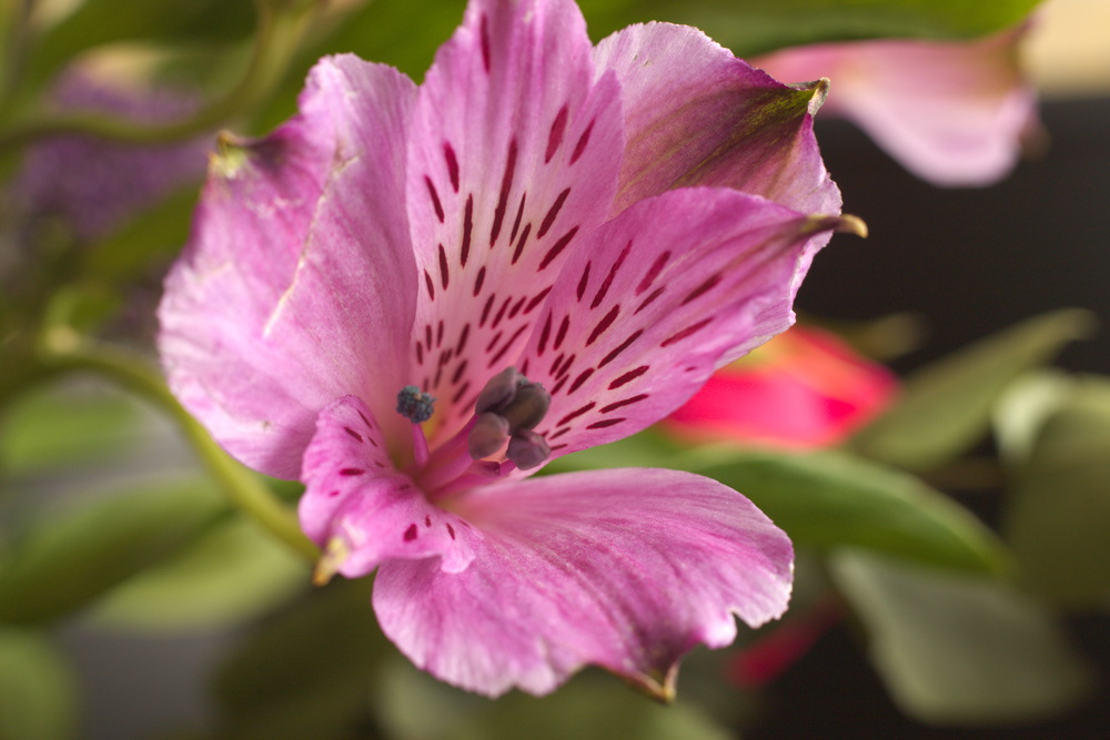 Attached Image: UVIVF 027  Alstromeria (perhaps) Vis.jpg