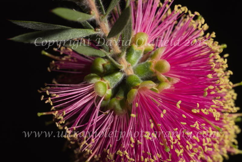 Attached Image: Callistemon_macropunctatus_Vis.jpg