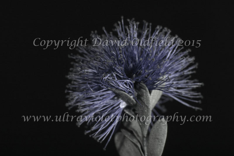 Attached Image: Melaleuca_nesophila_UV.jpg