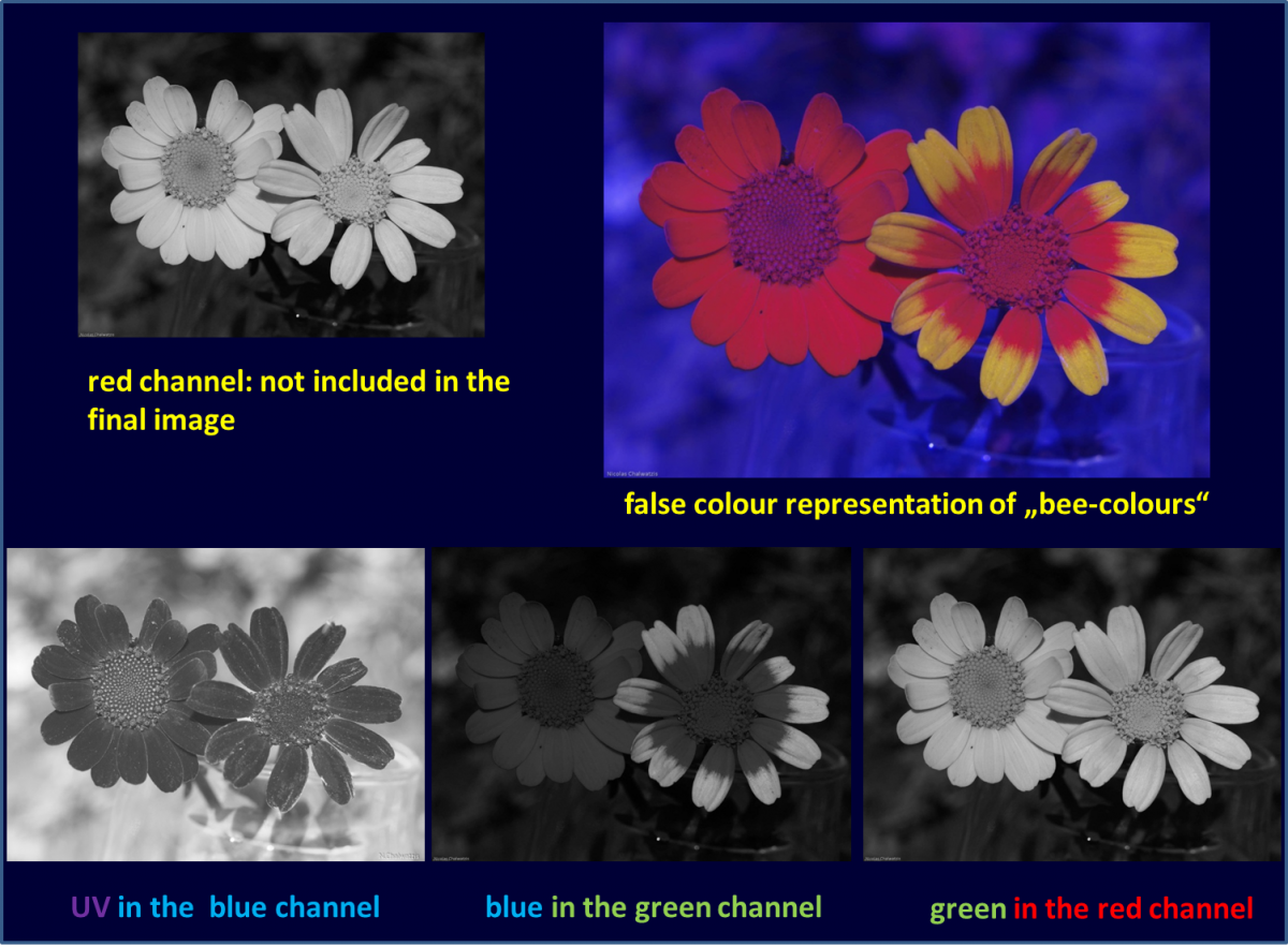 Attached Image: Chrysanthemum_bee_colours01.png