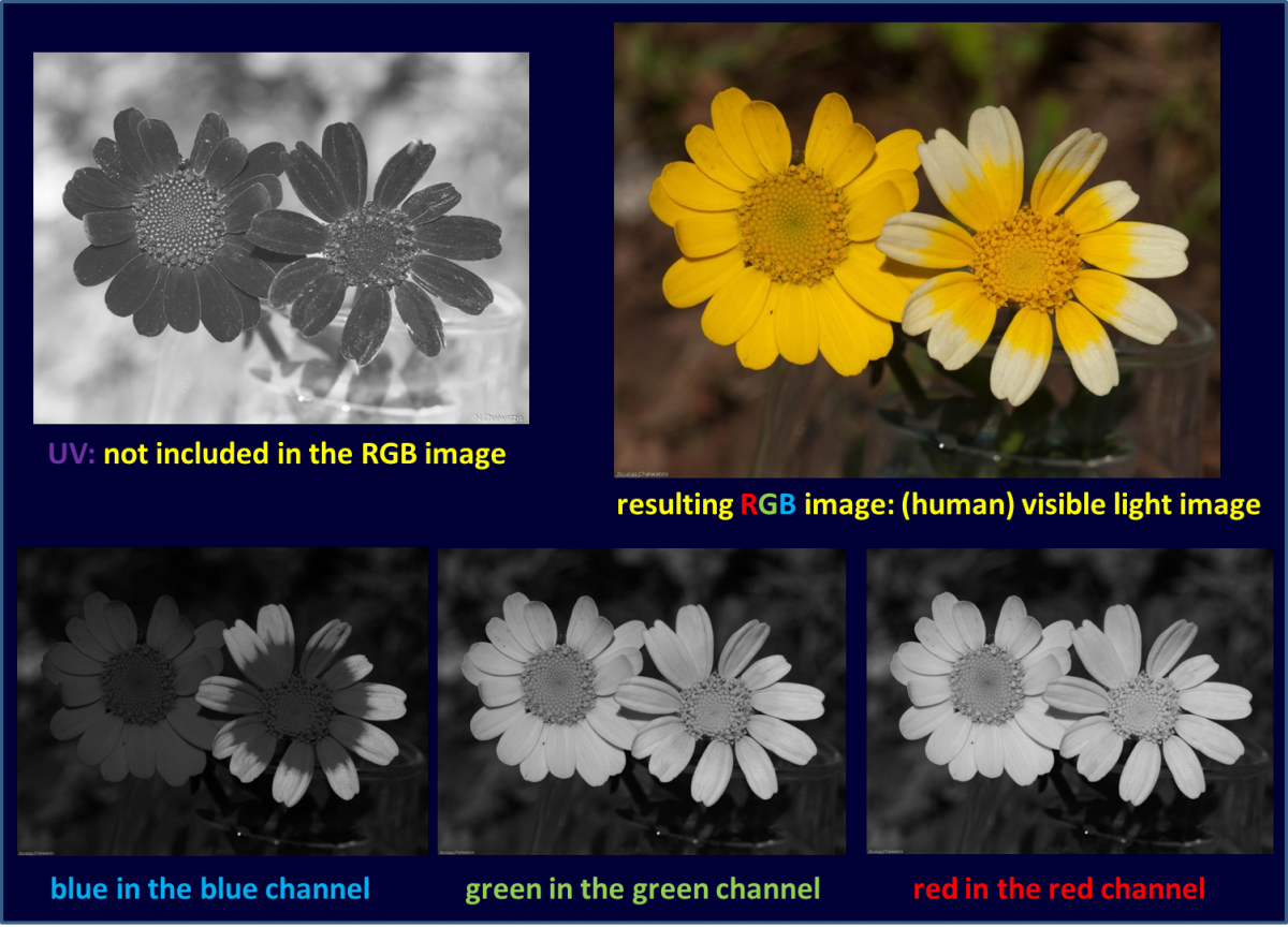 Attached Image: Chrysanthemum_visible_light01.png