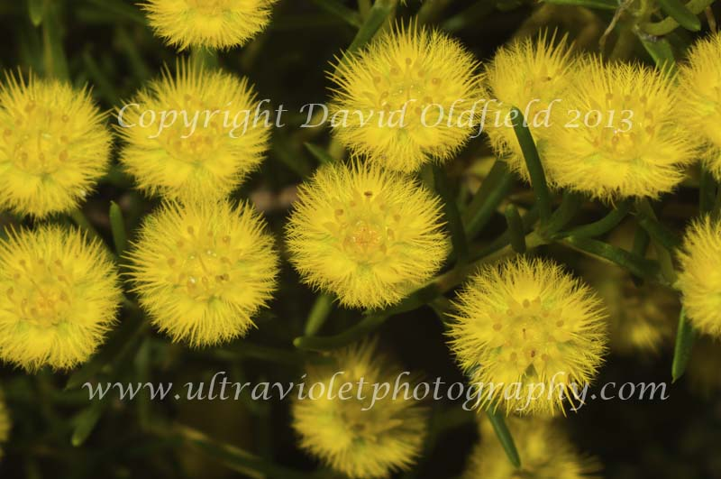 Attached Image: Verticordia_chrysantha_Vis.jpg