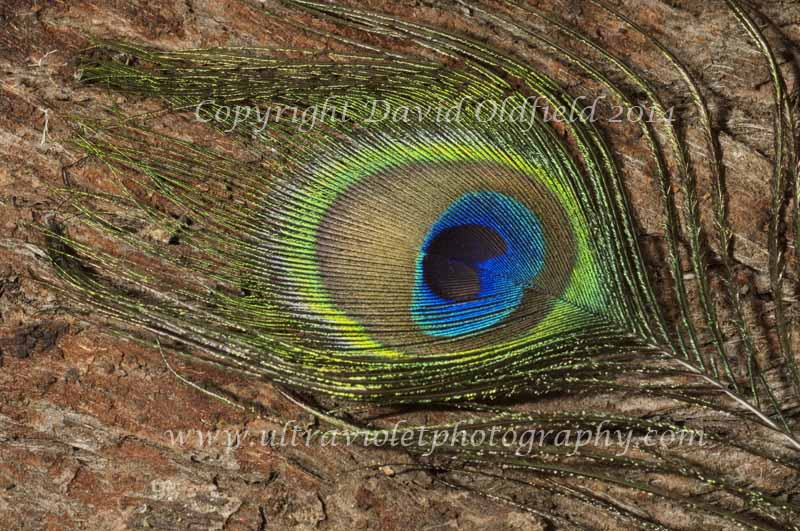 Attached Image: Peacock_feather_Vis.jpg